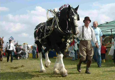 Heavy Horse Breeds many of which may be seen at Hollowell Steam