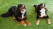 Bernese Mountain Carters Dogs